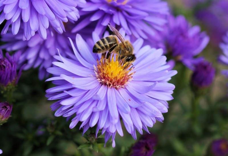 Les abeilles pollinisent le jardin