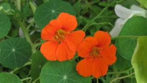 La capucine : une fleur qui attire les pucerons