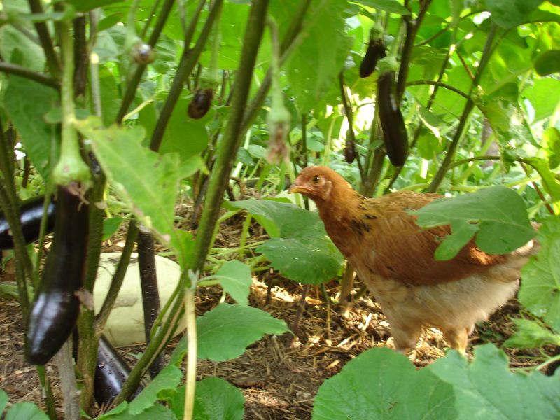 La poule : un allié utile au jardin