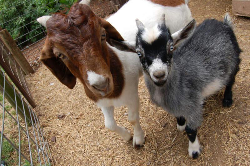 Chèvre et chevreau pour l'autonomie alimentaire