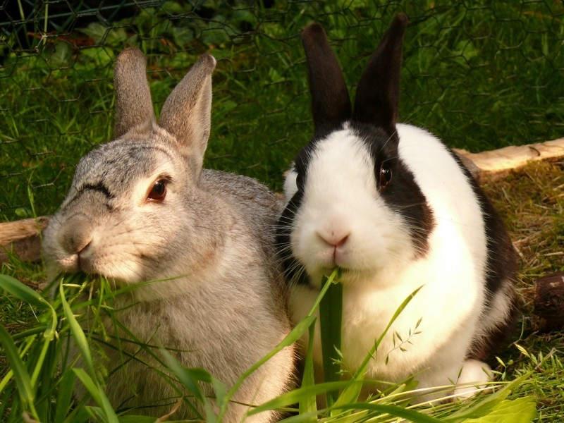 Des lapins d'élevage et domestique pour l'apport de viande facile